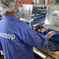 SACOOP - First MAF grading machine for blueberries installed in Italian Piedmont