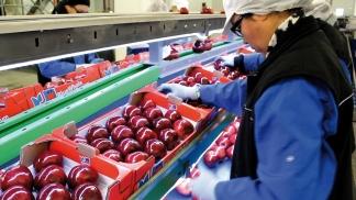 NOVACOOP - Table emballage inclinée - Pommes en plateaux