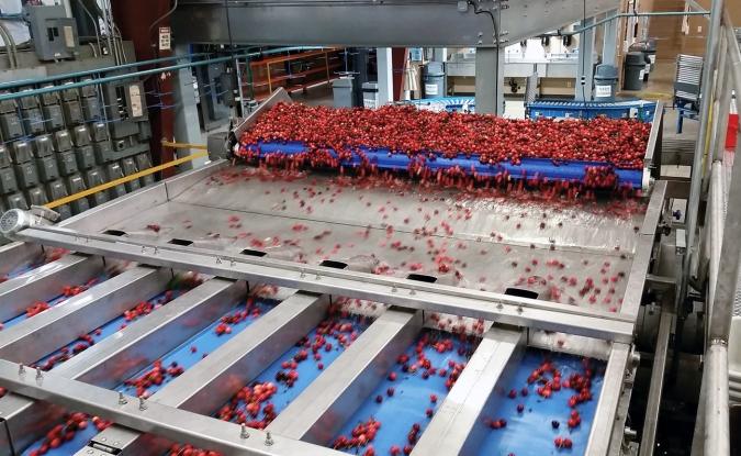 M & R PACKING (US) - Calibrage cerises - Alimentation / Singulation