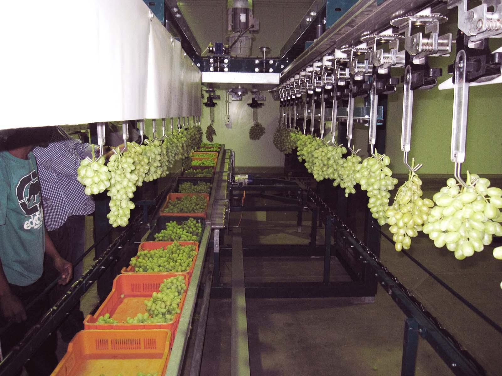 Grapes' sorting and packaging - GRAPESIZER