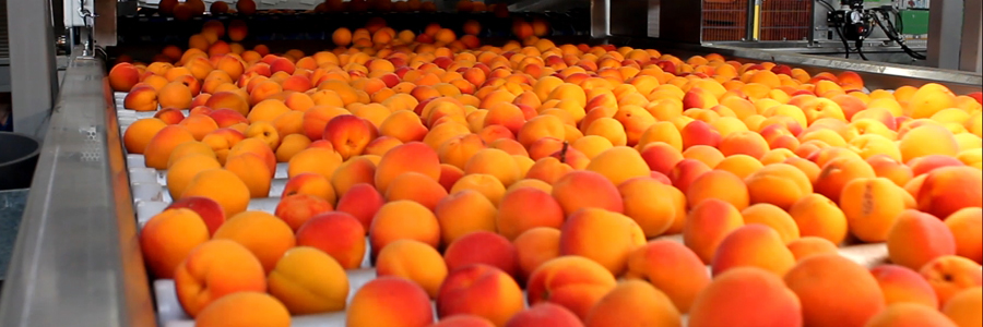 Panoramique fruits-fruits à noyau