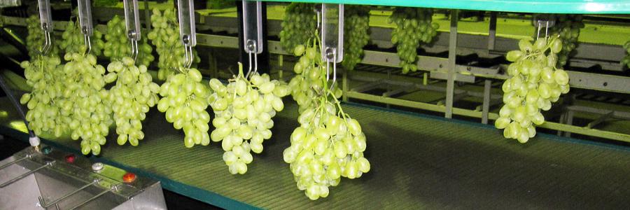 Panoramique fruits-raisin
