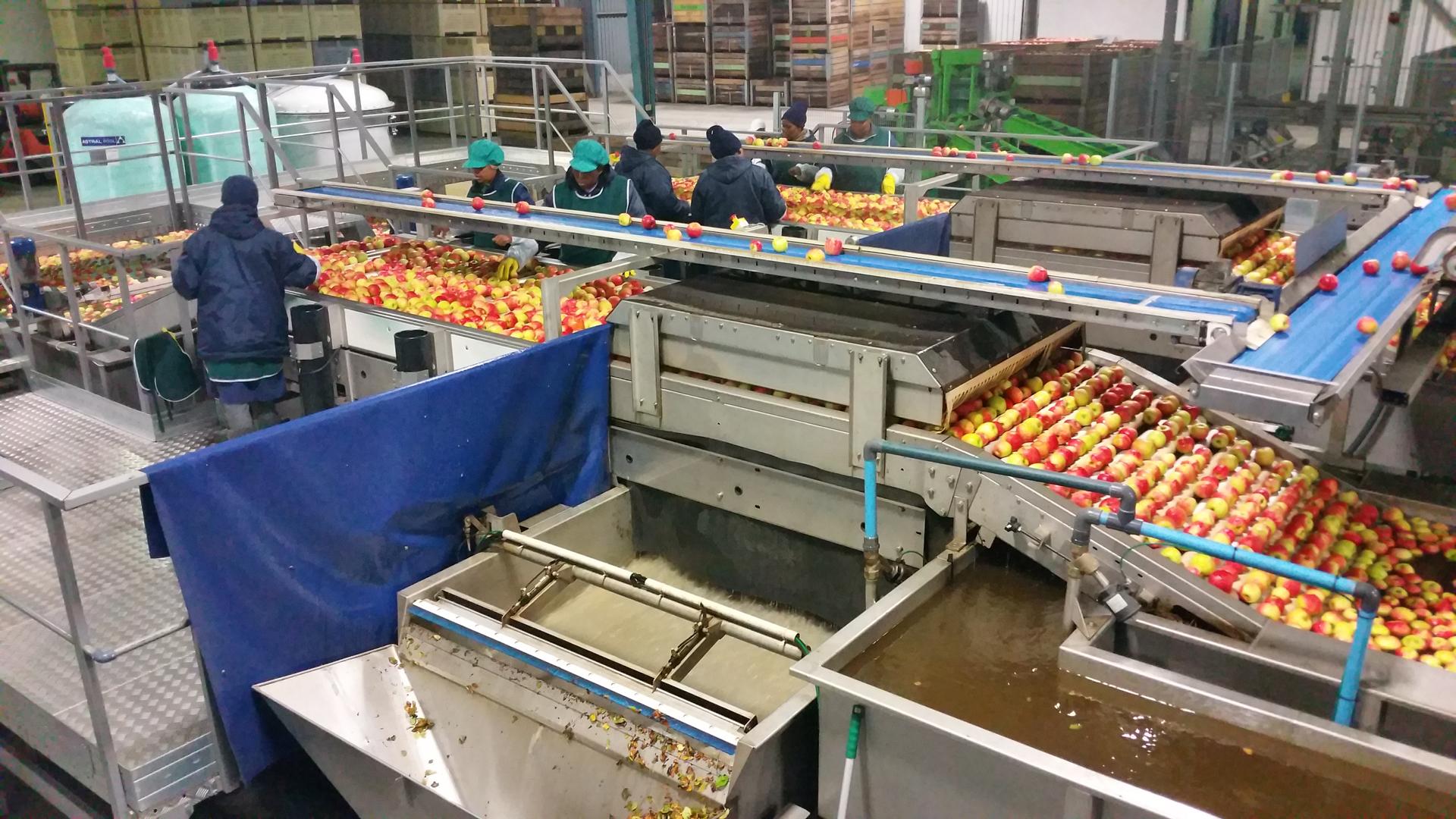 VALLEY PACKERS (RSA) - Précalibrage Pommes - Table de tri